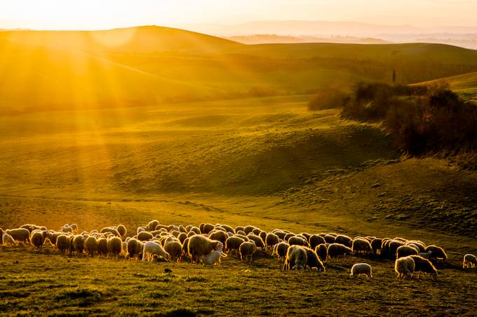 Sheep at Sunset by christianbrogi - Farms And Barns Animals Photo Contest