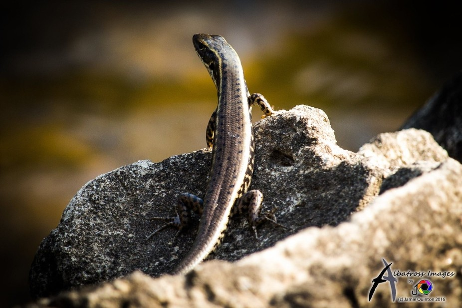 Skink in the evening sun