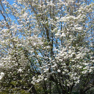 DOGWOOD TREE IN FULL BLOOM May 2015 Parksville, B.C. on Vancouver Island