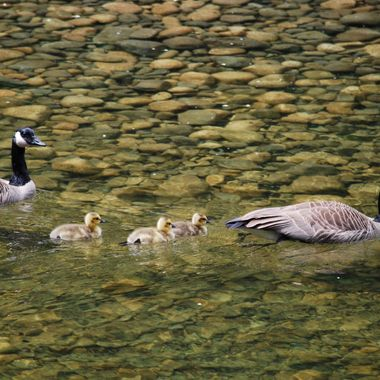 Canadian Goose Family on Englishman River on Vancouver Island