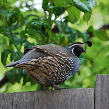 QUAIL FATTY - May 2015 - Day of Mom's Day Garden Show Tour in Oceanside on Vancouver Island