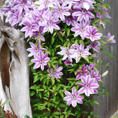 CLAMMATIS ARRANGEMENT - Oceanside Mom's Day Annual Garden Tour on Vancouver Island - May 2015