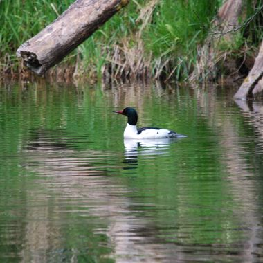 COMMON MERGANSER DUCK on Englishman River in Parksville, B.C. - May 2015