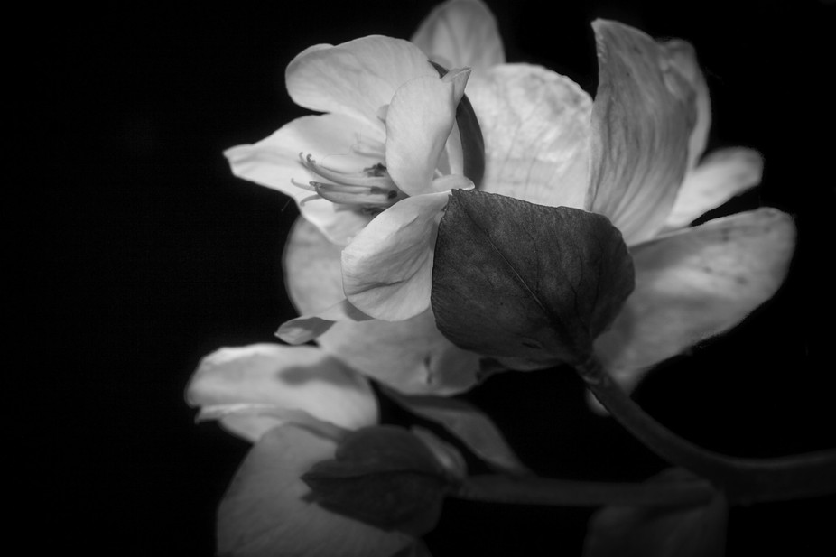 I love this flower which blooms in the spring and actually lasts for some time.  The BW rendition...
