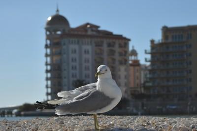 Seagull Mogul
