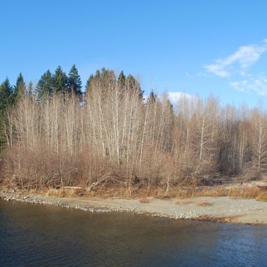 WhiteBirch trees on Englishman River from Park of Kaye Road in Parksville, BC on Englishman River Feb 23, 2015