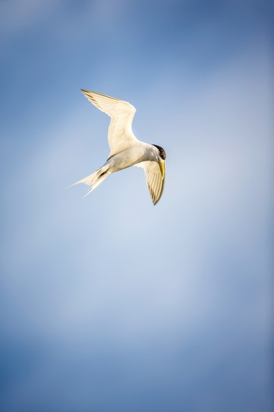 Crested Tern - Hovering