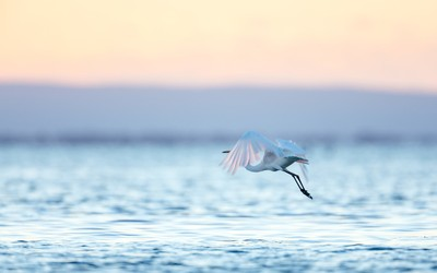 Eastern Great Egret - Sunrise fight