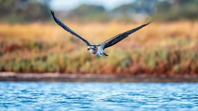 Eastern Osprey - Juvenile