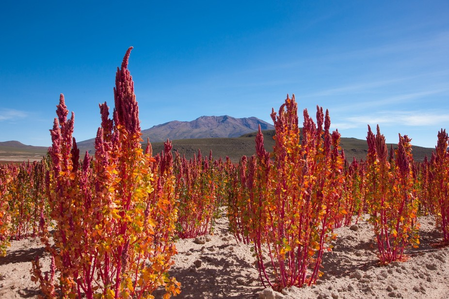 Vibrant Red Quinoa plants in Bolivia shortly before the Autumn harvest. This photo was taken from...