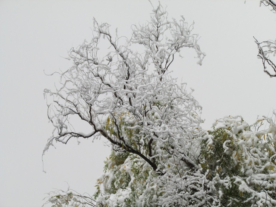 tree on my street in MI. I love how the branches hold the snow
