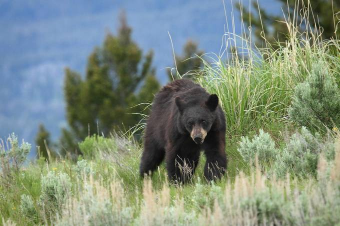 Black bear approach by AlanJ - Bears Photo Contest