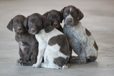 GSP Pups Group Shot