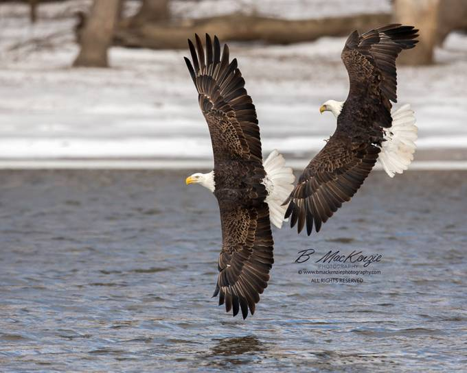 Maverick and Iceman by bmackenziephotography - Just Eagles Photo Contest