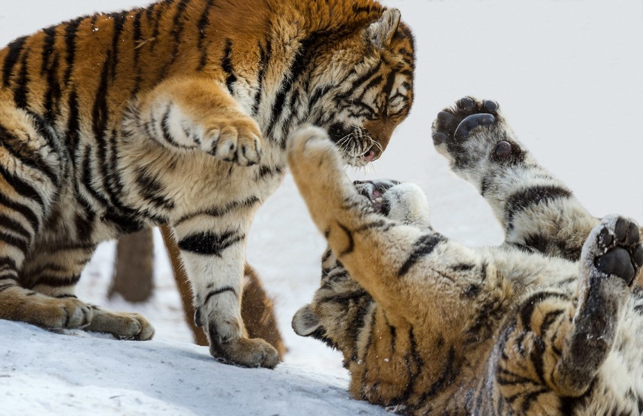Photographed these two bad boys up in Northern China. Was about -25 degrees centigrade. Awesome c...