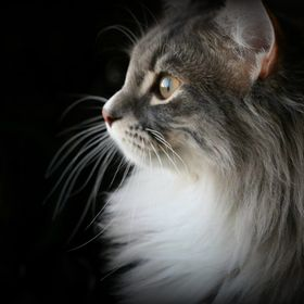 Tibble is 9 months old in this picture  He is part Maine Coon and Ragdoll. He's getting to be a pretty big sized cat and will still grow and...