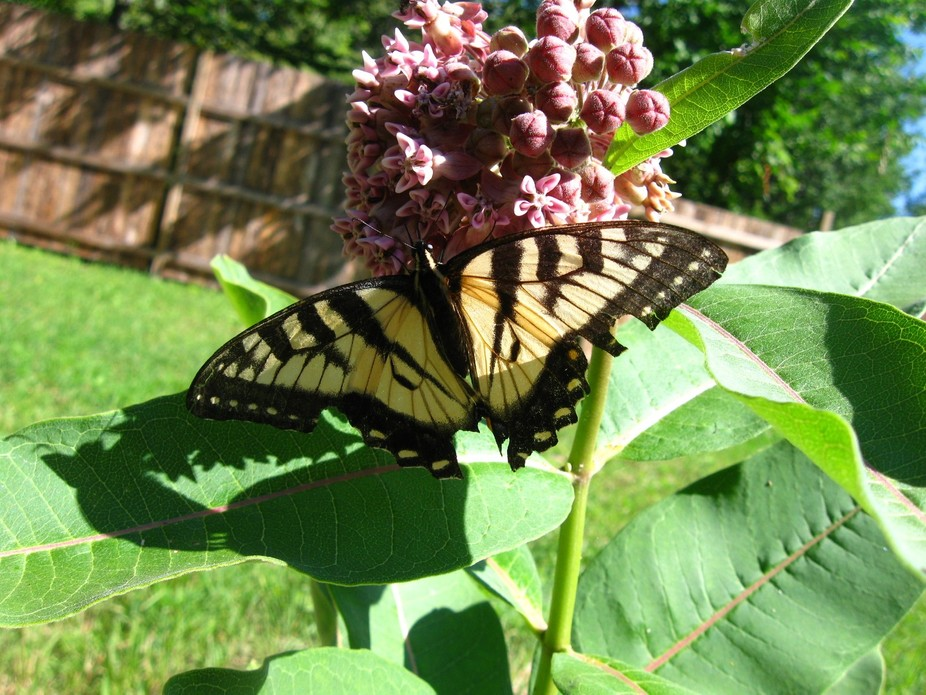 I Love Butterflies! Swallowtails are one of the first visitors in my back yard in the spring.