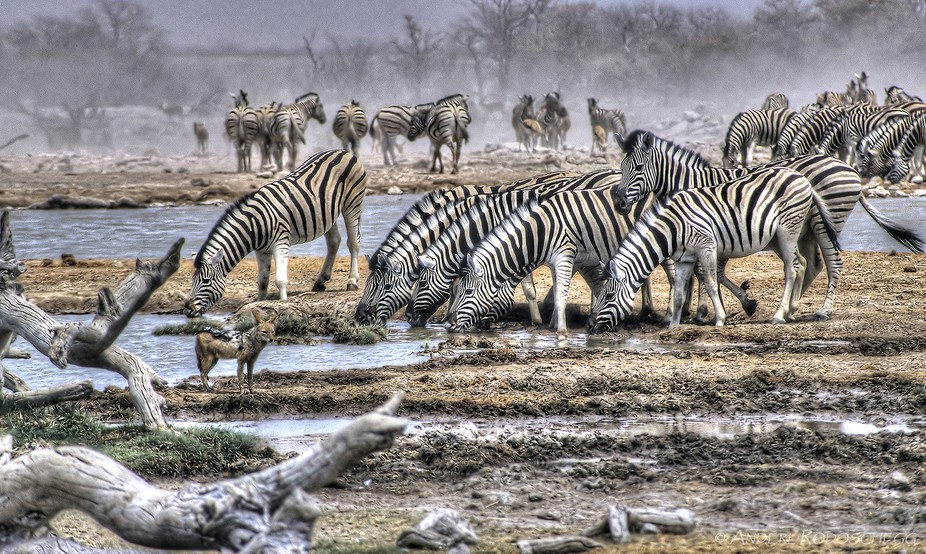 a drove of about 500 zebras at goas waterhole, Etosha.