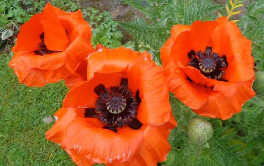 Huge poppies in English garden