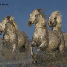 Camargue horses running in shallow water