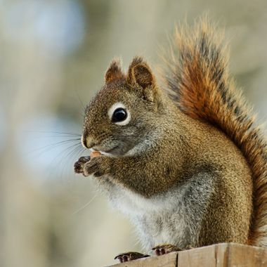 A red squirrel eating a peanut.