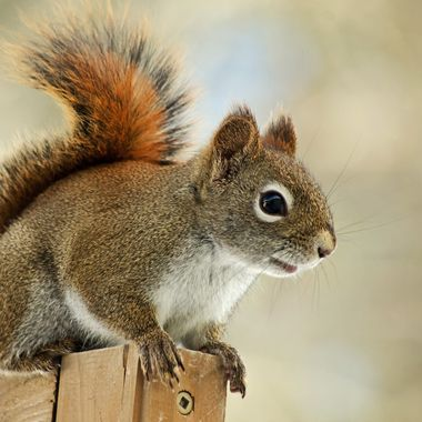 A close-up of a red squirrel.