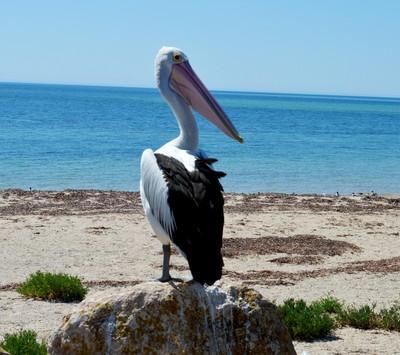 pelican on a rock,_