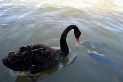 Horrified Swan Fish Food