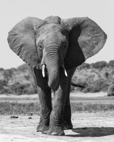 Botswana Elephant