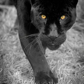 This is Athena a Black Jaguar. You don't trust her.