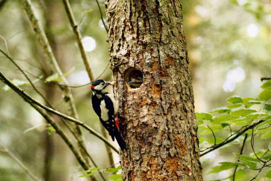 Woodpecker feeding young