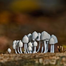 In a forest in Panama I spotted this tiny little group of toadstools.   The whole lot must have measured about 3 cm across.  It was like a tiny l...
