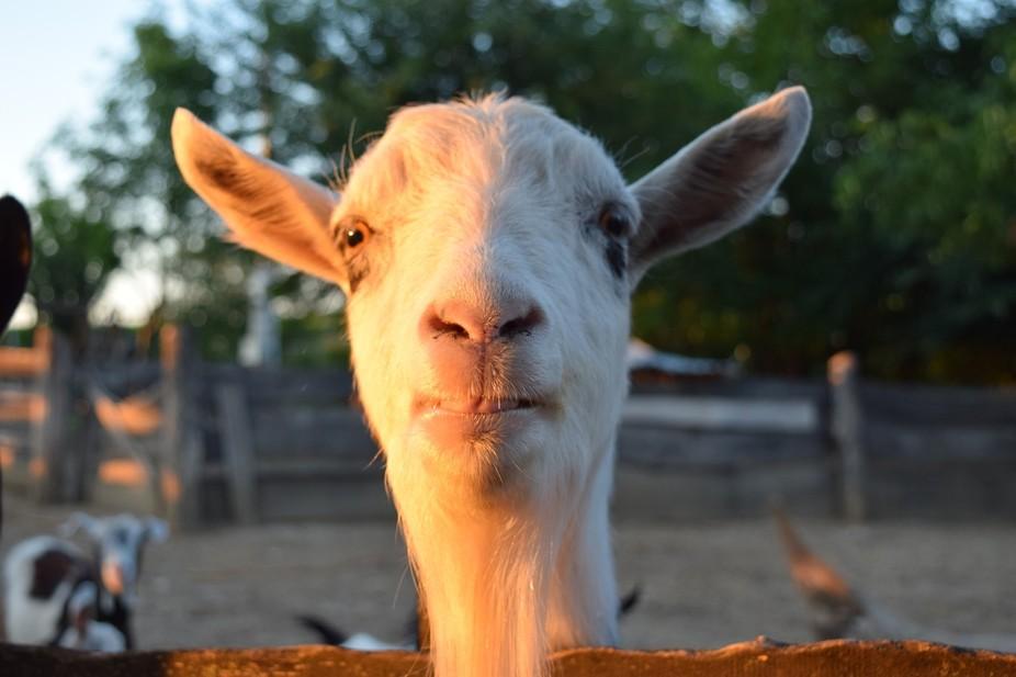 V. Henrik, The Goat
