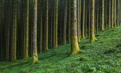 Tranquil Pine Forest