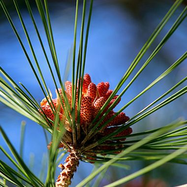 pinecones & needles