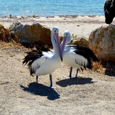 Pelican Love Story