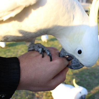 On a walk home, I came across a flock of Sulphur Crested Cockatoos. One of these Cockatoos was in a bit of a destructive mood, first he had a go at my shoelaces, then my camera bag and finally jumped up onto my hand and had a go at my fingers...I wouldn't advise trying to replicate this, these birds can easily break a finger if they bite you with enough force.   I have always been amazed with how this photo turned out. I am a left handed person and took this photo with a shaky right hand.