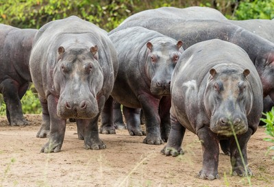 Stare down-Hippos win