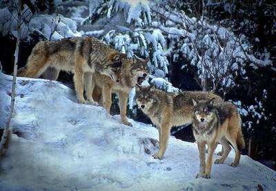 Wolf Quartet