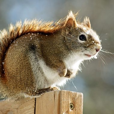 A red squirrel on a cold winter day.