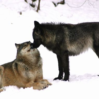 Aidan (tan) is the pack leader and Luna (black) is the alpha female.  They are members of the pack at the International Wolf Center in Ely, MN