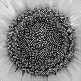 Psychedelic Sunflower