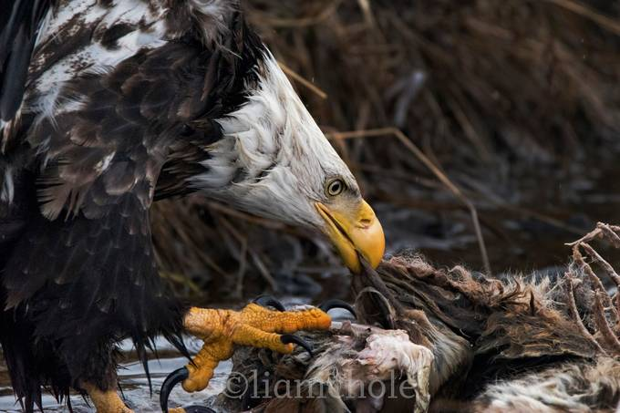Nature's Habits by liasimcox - Majestic Eagles Photo Contest