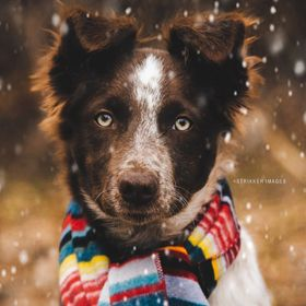My sister's Border Collie, Rosie is even more adorable in a scarf!  Publication: Orvis December 2016 Dog Book Cover www.orvis.com  :::Let...