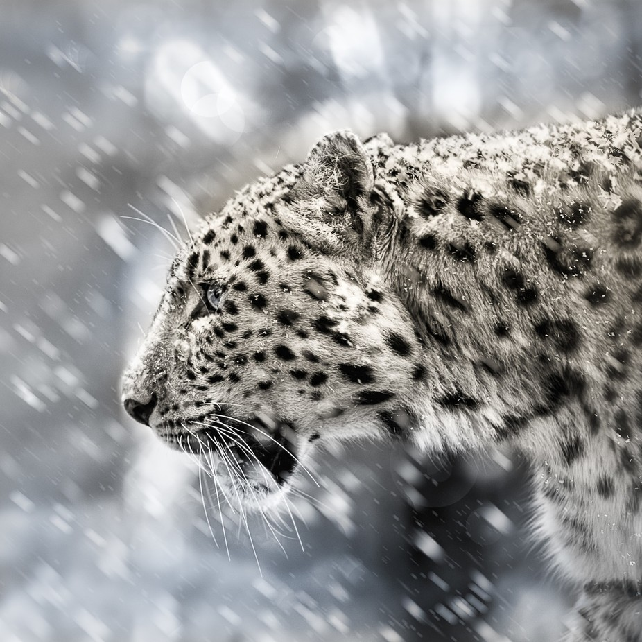 Snow leopard by mauritzchristiaanjaneke - Depth In Nature Photo Contest