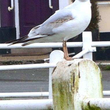 Seagull on post in Martham, Norfolk UK.