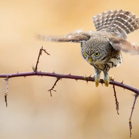 A northern pygmy owl, photographed in Southwestern British Columbia, Canada.  Here, the owl is about to leave her perch in order to pounce of a T...