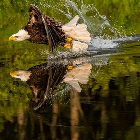 Bald eagle flying across a pond by Lake Erie