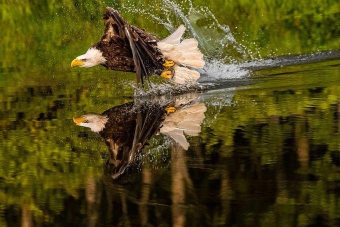 Bald Eagle by SJRatcliffe - Majestic Eagles Photo Contest