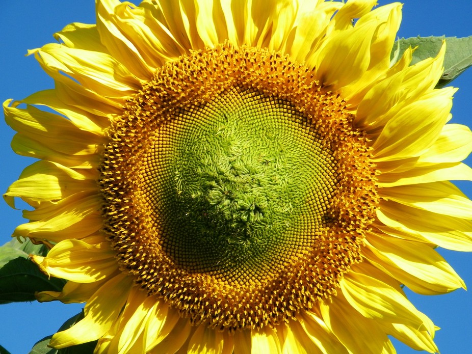 North Dakota Sun Flower